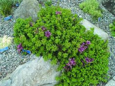 John Creech Sedum. The spreading, low growing sedums are standards in rock gardens, where they spill over the stones & seem to require no care. They form tight mats that usually don't get taller than 6″ & reach that height only when in bloom. Sedums will root along their stems, where they make contact with the ground. They can be a bit slick to walk on, but are nice between pavers & encircling patios.