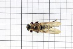 Robber Fly, Order Diptera: Family Asilidae (top) J. Cauthorn