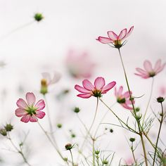cosmos by ditao, via Flickr