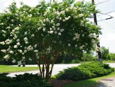 The Natchez Crape Myrtle makes a great focal point with beautiful white flowers that bloom for months! This Crape is fast growing and grows to be quite a large tree. Order today for fast delivery to your door! Colorful Flowers, White Flowers, Fast Growing Shade Trees, Large Backyard Landscaping, Big Backyard, Landscaping Ideas, Myrtle Tree, Lagerstroemia, Acid Loving Plants