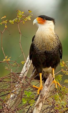 Carancho norteño - Northern Crested Caracara (Caracara cheriway). A New World species of falcon. photo: Sergio Bitran M.