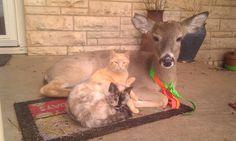 Pet deer pet deer, like animals, nature animals, forest creatures, buy pets Unusual Animals, Like Animals, Nature Animals, Fluffy Puppies, Cute Puppies, Dogs And Puppies, Pet Deer, Forest Creatures, Buy Pets