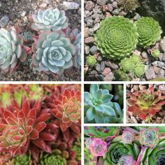 Heat Loving Edible Succulents Succulent - Arizona is the perfect area to grow the heat loving edible succulent...