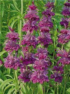 Monarda 'Bergamo' is colourful and attracts pollinators.