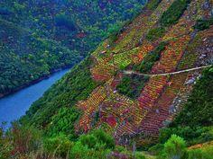 """Viñas en los """"Cañones del río Sil"""" en la Ribeira Sacra, situada en la provincia de Lugo (España) productora de excelentes vinos. Para su vendimia se utilizan asnos y mulos.  Cortesía de Carlos Vázquez, Galicia (España)."""