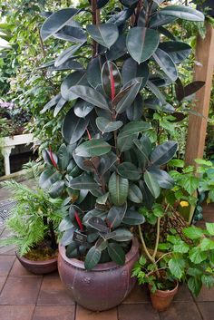The Rubber plant (Ficus robusta) requires little light and tolerates lower temperatures than tropical plants. It's particularly effective at removing formaldehyde from the air. Ficus Elastica, Indoor Trees, Indoor Plants, Inside Plants, Rubber Tree, Tropical Plants, Tropical Gardens, Trees To Plant, Houseplants