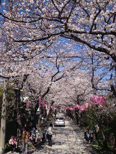 Sakura @Yokohama