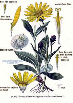 Arnica montana--contains thymol a strong biocide which has anti-inflammatory, antimicrobial and fungicidal effects.