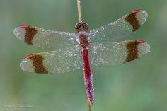 De vleugels van deze bruinrode heidelibel lijken wel ingelegd met diamantjes. Dit insect is nu veel te zien, zijn vliegtijd is namelijk van eind mei tot eind november, met een piek van eind juli tot eind september. Het insect moet nog wel een uurtje in de zon gaan zitten voordat ze weer kan vliegen. Fotograaf Edwin Dekker.