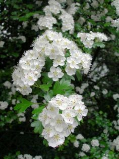 Hawthorn blossom fills the hedgerows in May, giving it the common name May blossom. Deciduous Trees, Flowering Trees, Pretty Flowers, White Flowers, Garden Angels, Primroses, Celtic Tree, Moon Garden, Wild Edibles