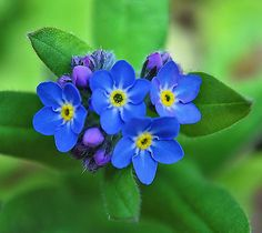 Forget Me Nots ~ perfect for Alaska :)