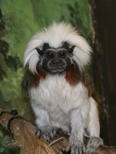 Cotton-top Tamarin - a critically endangered monkey from Columbia - at Utah's Hogle Zoo
