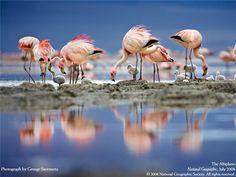 Птенцы розовых фламинго рождаются абсолютно белыми