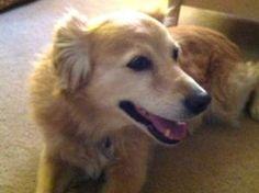 CL Periwinkle is an adoptable Labrador Retriever Dog in Prescott, AZ. Click on Petfinder.com link below for info...