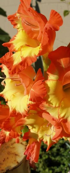 Garden Flowers - Annuals Or Perennials Gladiolus - Autumn Colors Exotic Flowers, Amazing Flowers, Beautiful Roses, Beautiful Flowers, Flower Beds, My Flower, Birth Flower, Gladiolus Flower, Calla