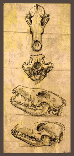 coyote skull references