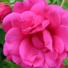 Marktäckande ros VIKING Viking, Flowers, Plants, Florals, Plant, Flower, Bloemen, Planting, Planets
