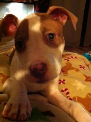 PBF Eaves is an adoptable Pit Bull Terrier Dog in Muskegon, MI.  This is Eaves, a 10 week old, (Feb 19th), Pittbull puppy. She and her brother had a pretty rough start, she was very sick for awhile, b...
