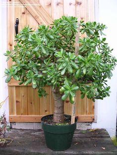 Crassula Ovata - money tree                                                                                                                                                                                 More