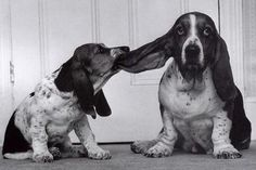 Basset hounds are so sweet and funny!