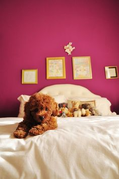 Red toy poodle.
