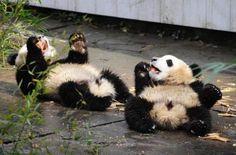 #Roll #panda
