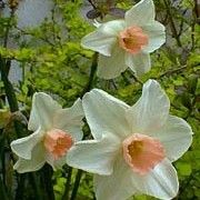 Narcissus 'Bell Song' (Daffodil 'Bell Song')   Click image to learn more, add to your lists and get care advice reminders each month.