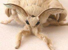 hairybug-1. The Venezuelan Poodle Moth (le papillon caniche du Vénézuéla)