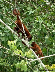 Red Howlers, (Alouatta seniculus)
