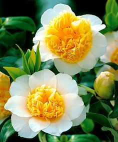 Hardy Camellia | Trees and Shrubs from Bakker Spalding Garden Company