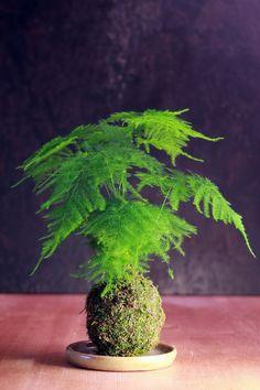 my kokedama with a plumosa (asparagus) fern. I have one that is 45 years old. Asparagus Fern, Bonsai Garden, Garden Pots, Ikebana, Air Plants, Indoor Plants, Cactus Plants, String Garden, Flower Pot Design