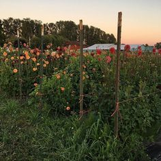 I get asked all the time how we keep our dahlias supported so that they don't fall over. With over 6,000 plants in the ground, it would be impossible to stake each one individually. So, instead we use t-posts and bailing twine to corral them in. You can see an example in this photo. As the plants grow taller, we just add more layers of twine up the posts. It works like a charm.  #growfloret #floretbulbs