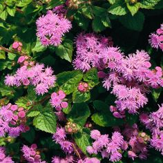 Ageratum dependably produce clusters of small, fluffy blooms in white, blue, or lavender from early summer through fall! http://www.bhg.com/gardening/flowers/annuals/best-annuals-for-cutting/?socsrc=bhgpin032015ageratum&page=1