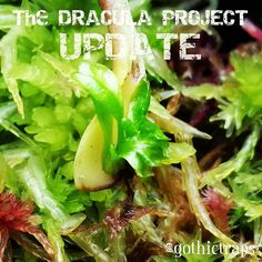 The Dracula PROJECT   Baby Drac is born  #gothictraps #vancouver #bc #canada #plants #carnivoroustagram #carnivorousplant #carnivorousplants #dionaea #muscipula #dionaeamuscipula #venus #flytrap #venusflytrap #vft #dracula #narcityvancouver #vancouverofficial #vancitybuzz #iamvancouver #typicalvancouver #vancityfeed #vancityhype #wearevancouver #vancouver_canada #discovervancouver #veryvancouver #vancouverize #604now #myvancouverlife by gothictraps