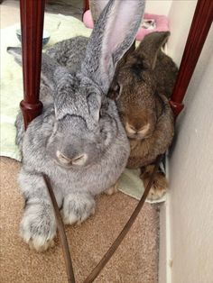 They think they're little bunnies... They're Flemish Giants.