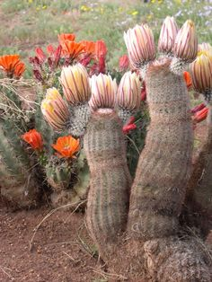 Cactus Blooming in the Spring