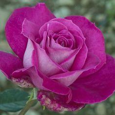 Rosier 'Baronne Edmond de Rothschild®' Meigriso - Plantes et Jardins