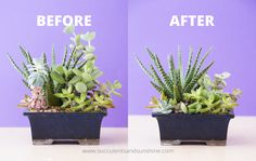 Before and after pruning succulents