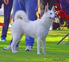 Swedish white elkhound