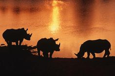 White rhinoceroses are silhouetted by the setting sun in Tanzania's Tshukudu Private Game Reserve.