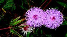 Gli esperimenti condotti sulla Mimosa pudica dimostrano l'abilità del vegetale di distinguere tra diversi stimoli nel tempo