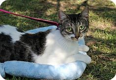 Pictures of Ally a Domestic Shorthair for adoption in Ocean Springs, MS who needs a loving home.