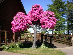 Supertunia Tree - Actually a tree of petunia flowers, very cool!!