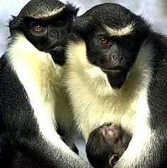 The Diana monkey lives on the western edge of Africa, exclusively in the small region surrounding Sierra Leone and the Ivory Coast.