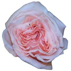 Pink O'Hara.  Order them online @ www.parfumflowercompany.com or go visit your florist.