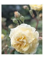 princess alexandra of kent rose - Google-søk