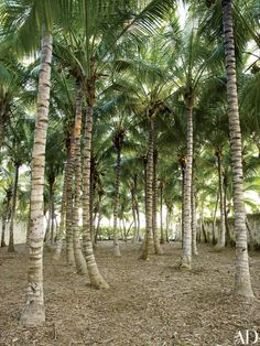A grove of coconut palms forms a dense canopy near the water's edge, with sea grape in the background | archdigest.com