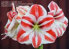 amaryllis superstar - Google Search