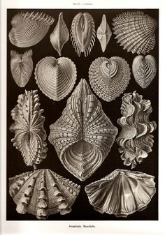 Ernst Haeckel Cytherea Clam Shell Art Print Vintage Lithograph Beach House Home Office Decor Sea Life Shells Molluscs Bivalves Ernst Haeckel Art, Art Et Nature, Nature Study, Natural Form Art, Seashell Art, Patterns In Nature, Nature Pattern, Natural History, Vintage Prints