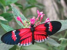 Heliconius Butterfly   Animals: Butterflies, moths